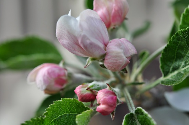 apple blossoms, spring in portland, spring blossoms